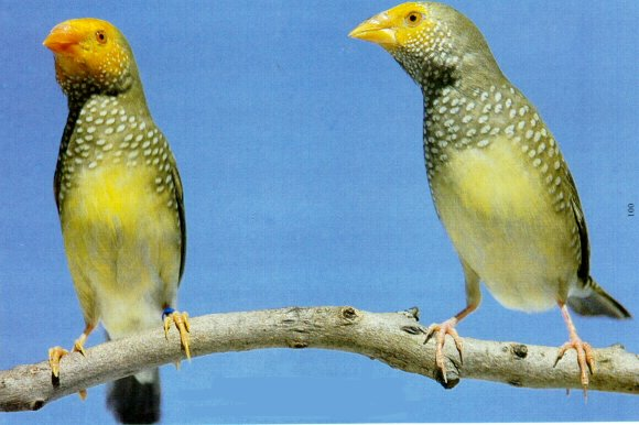 Yellow star finch - photo#4